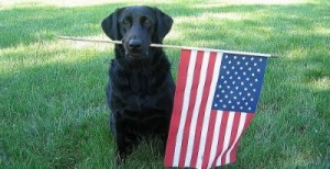 black lab with flag